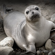 San Simeon, CA Stock Photography - Elephant Seal Photography - Studio 101 West Stock Photography